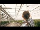Профессиональная гидропоника в Голландии. Теплица с розами.