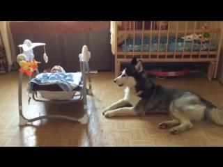 Хаски успокаивает ребёнка