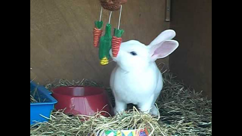 BEW Mini Rex rabbit playing with her toy