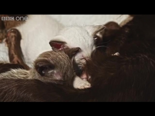 Orphaned puppy is adopted by mother cat _ Pets - Wild at Heart_ Episode 2 previe