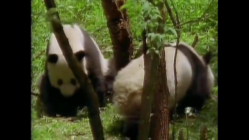 Большие Панды. Мир Животных - Панда.National Geographic Wild.NatGeoWild