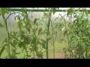 первый сбор томатов в 2015г и кладоспориоз