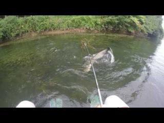 Silure à la frog en float-tube,attaque en direct dans les palmes - go pro HD » Freewka.com - Смотреть онлайн в хорощем качестве