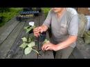 Черенкование малины Ляшка эксперимент№1 и результат