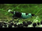 Taiwan Bee - Panda Hinomaru shaking eggs