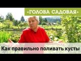 Голова садовая - Как правильно поливать кусты