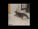 Cat Harlem Shake