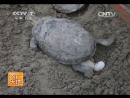 Черепахи Гуй или Коробчатые окаймленные Гуй Хуан Юань лат Cuora flavomarginata методика многомиллионного бизнеса п