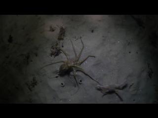 Красный осьминог против краба