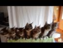 Synchronous Kittens Dance to the music [Синхронные Котята  танцуют под музыку]