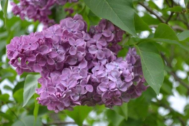 #подписчики Наше лето! Ирисы и пионы - цветут, жасмин благоухает, кошк