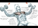 Мышцы груди. Сведение рук с гантелями лежа