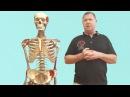 Биомеханический подход в массаже. Мышечные цепи и постуральная функция опорно-двигательного аппарата