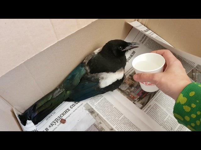 Молодая сорока на лечении. Young magpie on rehabilitation.