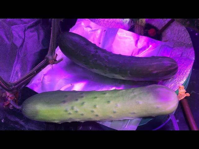 3.1 Огурцы на гидропонике в квартире, светодиодное освещение