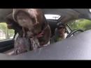 Собаки радуются тому, что едут в парк