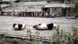 Panda mom and son synchronized their scratches