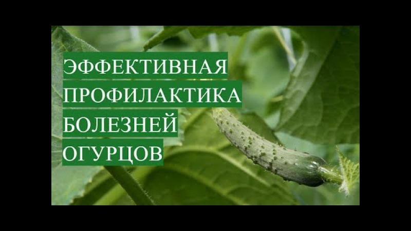 Болезни Огурцов. Эффективная Профилактика Болезней Огурцов.