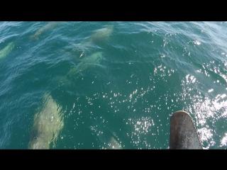 Косяк черноморских дельфинов сопровождают яхту