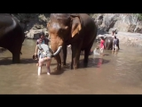 Слон в Таиланде ударил студентку бивнем