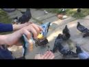 Борзые голуби