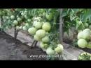 Особенности выращивания томатов Бычье сердце