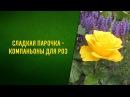 Лучшие компаньоны для роз. С какими цветами посадить розы.