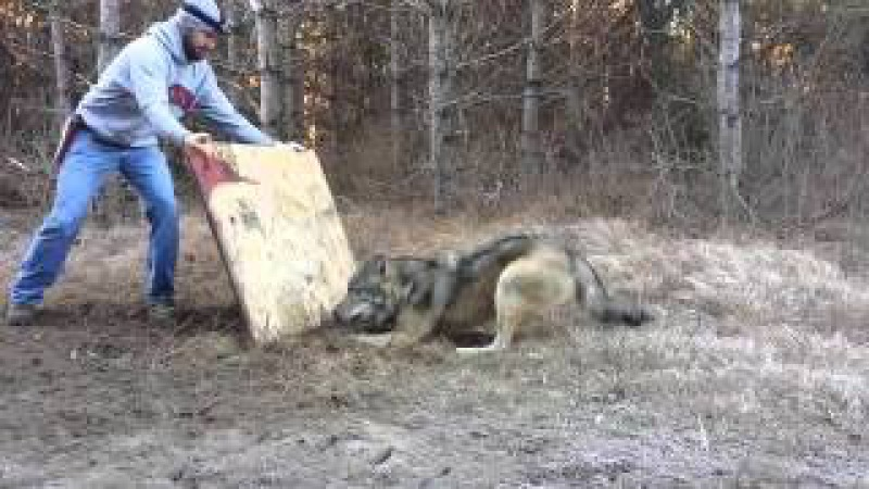 Освобождение Волка из Капкана. Saving Wolf From a Trap.