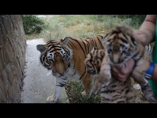 Амурская тигрица Василиса принимает чужих тигрят Тайган