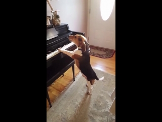 Buddy mercury sings! funny and cute beagle who plays piano
