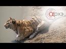 Михаил Кречмар Тигры и леопарды России