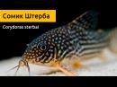 Сомик Штерба Corydoras sterbai - очень яркий и популярный у аквариумистов сомик