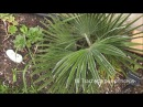 How many types of palm can you grow in Yorkshire UK