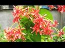 Самые душистые комнатные цветы Комбретум