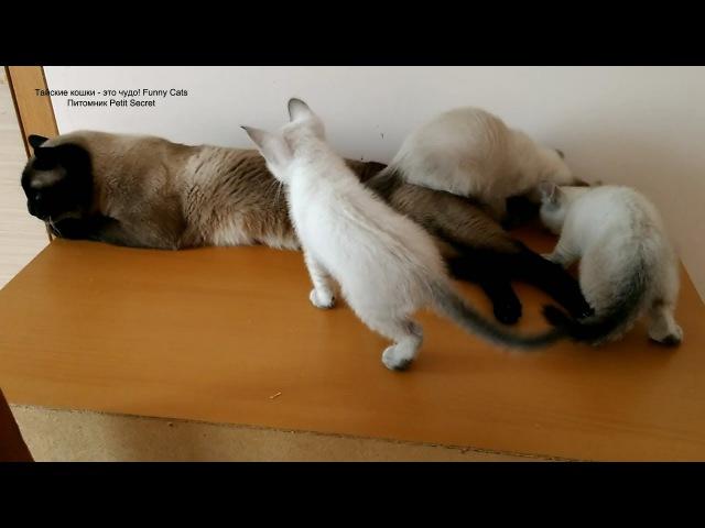 Как папа кот Оскар пытался сбежать от котят в их последнюю встречу! Тайские кошк ...