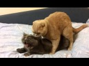 Спаривание животных кошки и др.  Секс 18+   Mating animals cats cats and others Sex