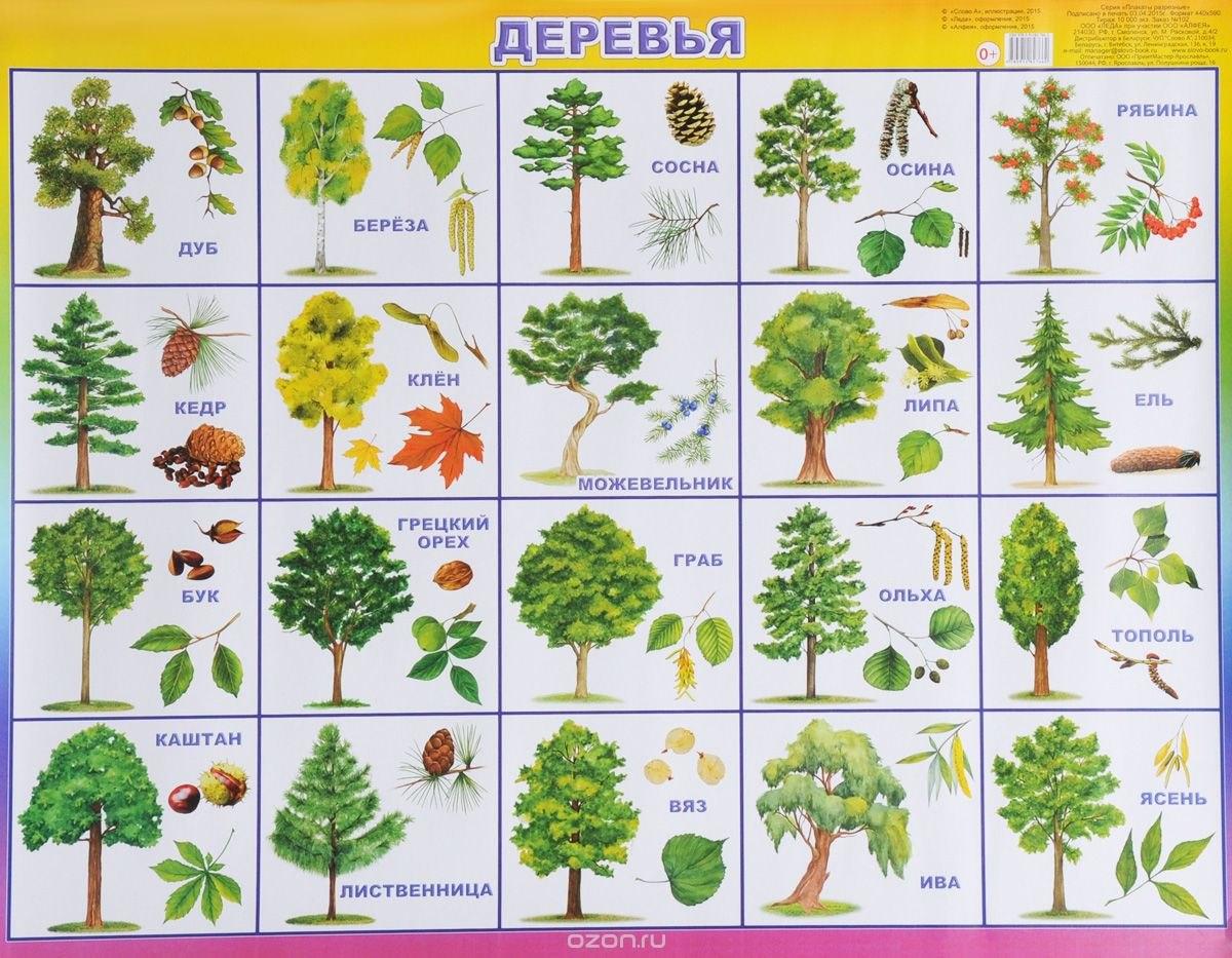 Кора дуба — лечебные свойства и противопоказания вечного дерева
