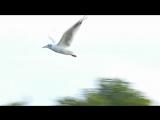 Летящая птица. Летящая Чайка в Замедленной Съёмке. Чайка в полёте. Футажи для видеомонтажа