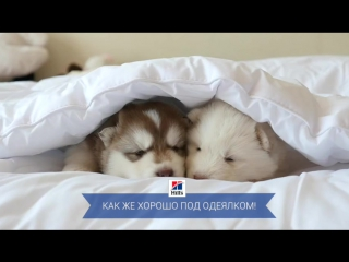 Милые щенята под одеялом
