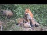 Fox News update  Mom fox with her babies