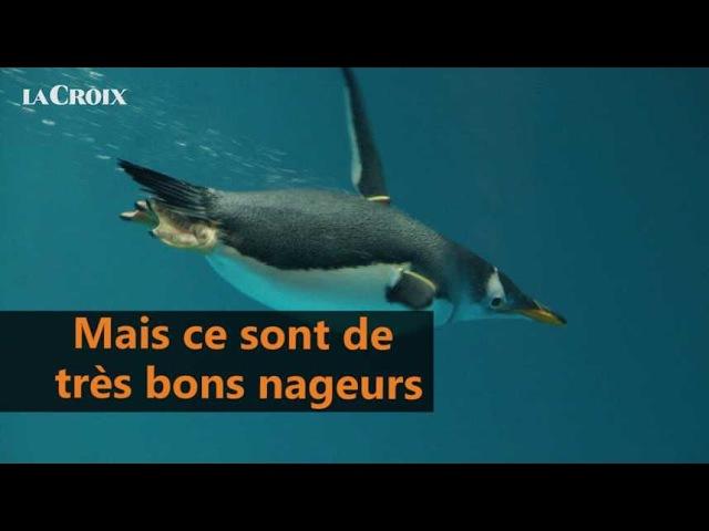 Quelle est la différence entre manchot et pingouin