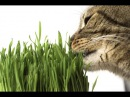 Как вырастить ТРАВУ для КОШКИ и других домашних животных ❖❖❖ Несложная инстру ...
