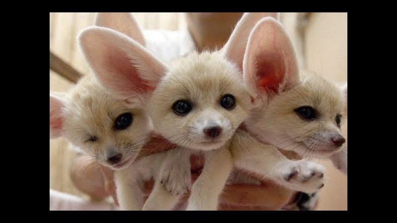 Fennec fox compilation - Funny and Cute fennecfoxes Part 2