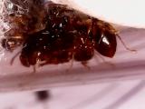 Acanthomyrmex glabfemoralis для Светланы Абрамовой