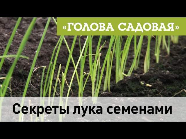 Голова садовая - Как вырастить лук семенами