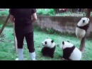Панды мешают уборщице Panda helps clean up