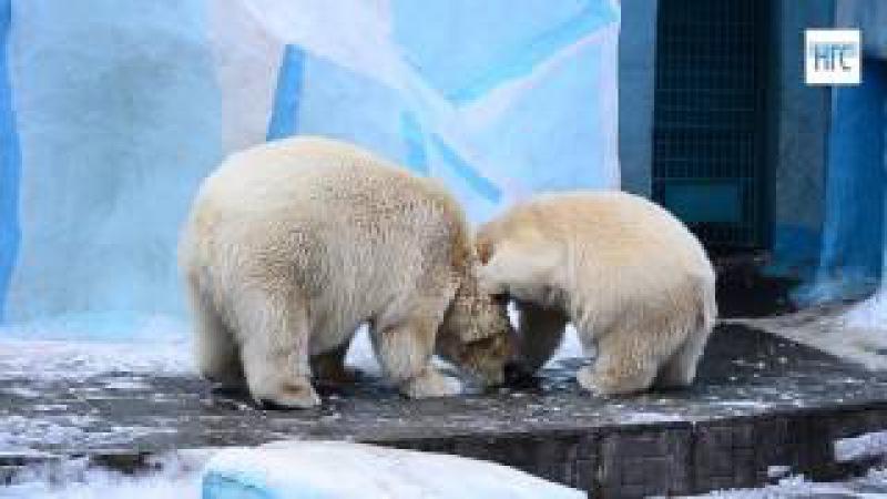 Медведица Герда рассердилась на медвежонка Ростика, 3 ноября, Новосибисркий зоопарк