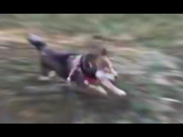 SHIBE RUNNING AT INCREDIBLY HIHG SPEED 2!!