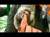 Крошечные обезьяны любят зефир.Одна из самых маленьких обезьян на планете.Brave Wile...