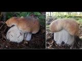Белые грибы в жару +30 грибное безумие, конец августа 2017